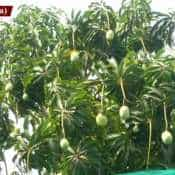 Kochi man grows 40 varieties of mangoes on his rooftop