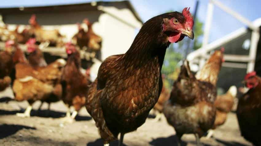 'Kadaknath' app launched to market this special chicken breed by Madhya Pradesh government