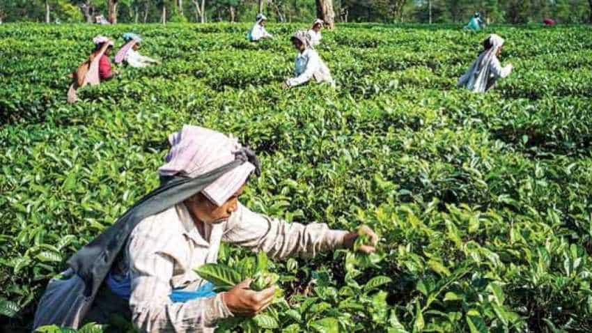 Tea production down 6.7% in July, exports up 6.5% in 7 months