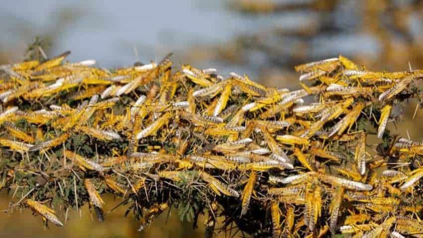Threat of locust swarms looms over Delhi