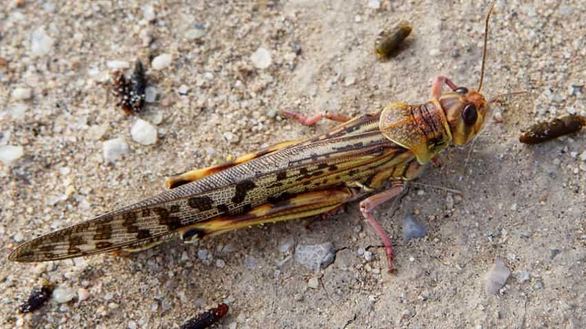 Armed with WhatsApp, music, dupattas & firecrackers, Raj town fights locusts
