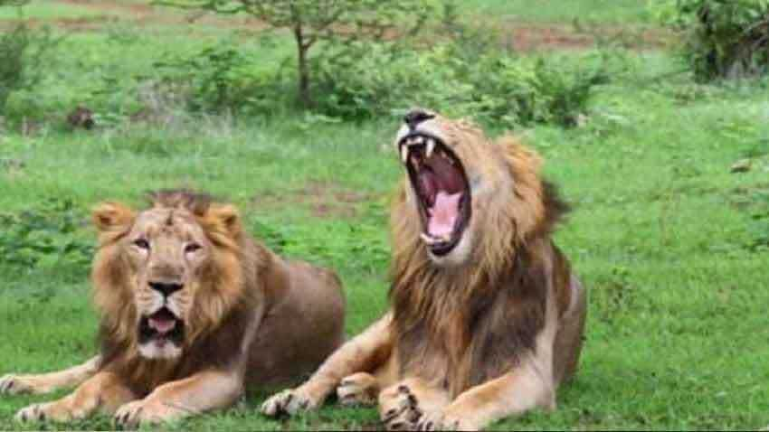 Gujarat: 7 get jail terms for harassing lioness in Gir forest